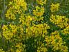 <em>Erysimum capitatum</em> var. <em>angustatum</em>, Contra Costa Wallflower, native.  <em>Brassicaceae</em> (=<em>Cruciferae</em>, Mustard family). Antioch Dunes National Wildlife Refuge, Contra Costa Co., CA  4/20/11