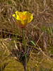 <em>Eschscholzia californica</em>, California Poppy, native.  <em>Papaveraceae</em> (Poppy family). Antioch Dunes National Wildlife Refuge,Contra Costa Co., CA 4/20/11