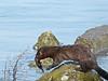 Mink, <em>Mustela vison</em> Dow Wetlands Preserve, Antioch, Contra Costa Co., CA  12/25/2011