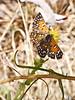 "Lange's Metalmark, <em>Apodemia mormo langei</em>.  Rare, federal endangered list. Antioch Dunes National Wildlife Refuge, Contra Costa Co., CA  9/9/10 A little ragged, but enjoying the lunch break.  For more Metalmark pictures click <a href=""http://bobsikora.smugmug.com/Photography/Antioch-Dunes/14233337_BZJsy#1052573259_Miho5"">here</a>."