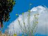 <em>Erysimum capitatum</em> var. <em>angustatum</em>, Contra Costa Wallflower, native.  <em>Brassicaceae</em> (=<em>Cruciferae</em>, Mustard family). Antioch Dunes National Wildlife Refuge, Contra Costa Co., CA 5/26/2011