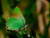 """Inland"" Bramble Hairstreak, <em>Callophrys ""dumetorium</em> complex"" Antioch Dunes National Wildlife Refuge, Contra Costa Co., CA 4/21/11"