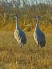 Sandhill Crane, <em>Grus canadensis</em> Twin Cities Rd./Consumnes River Preserve, Sacramento Co., CA 2/8/2012