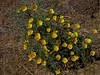 <em>Eschscholzia californica</em>, California Poppy, native.  <em>Papaveraceae</em> (Poppy family). Antioch Dunes National Wildlife Refuge,Contra Costa Co., CA  8/11/10