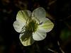 <em>Platystemon californicus</em>, Creamcups, native.  <em>Papaveraceae</em> (Poppy family). Antioch Dunes National Wildlife Refuge, Contra Costa Co., CA 4/21/11