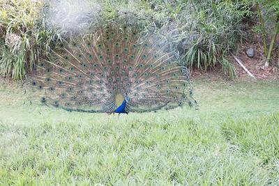 2014_06_01, Peacock at Ananda in Himalayas