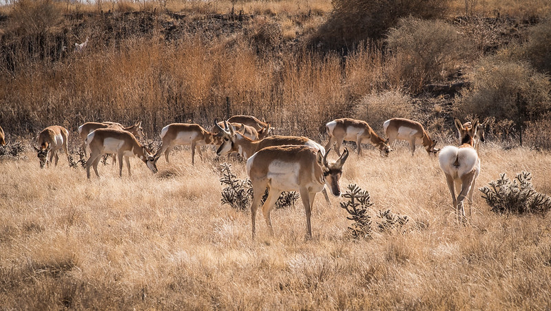 Pronghorn off HWY 89