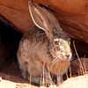 Jackrabbit, Old Rt. 66, Arizona
