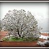 Peacock Tree in a morning snowstorm; Airport Vortex, Sedona