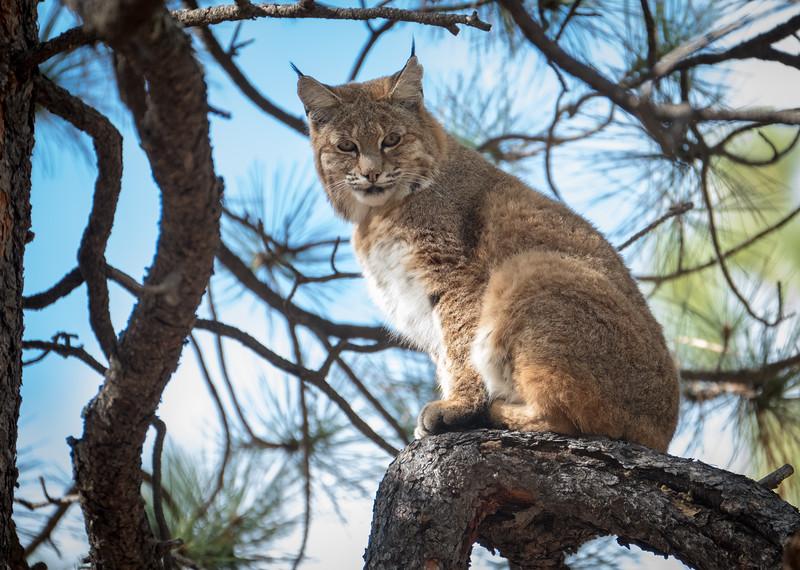 Bobcat at home