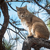 Bobcat at home