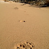 Mountain lion tracks in sand