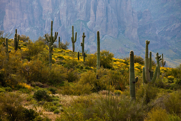 Growing Superstition Saguaro's, Desert, AZ