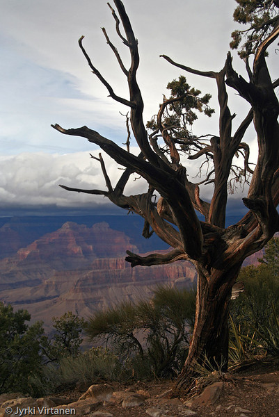 Canyon Tree - Arizona, USA