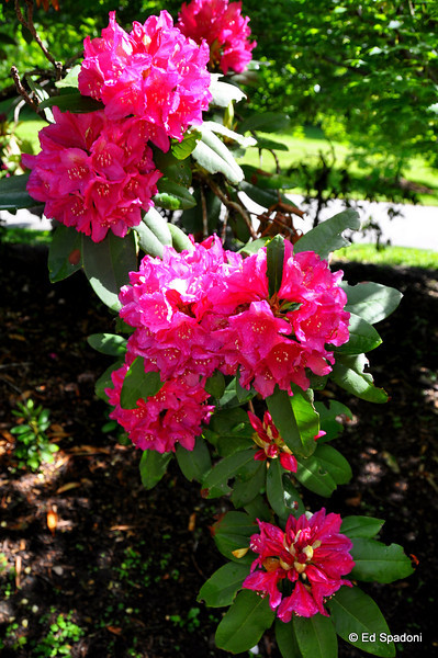 The rhododendron were in full bloom