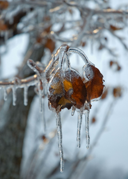 Ice on a tree behind the office.