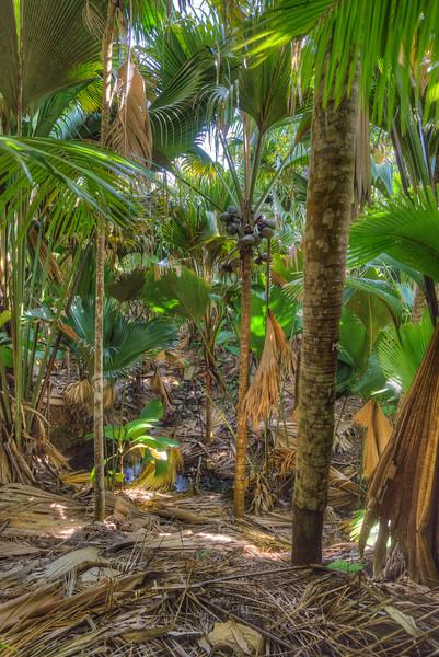 Valle de Mai, Praslin, Seychelles, home of the huge Coco de Mer coconuts