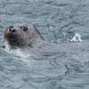 Harbor seal eating salmon at the Macaulay Salmon Hatchery, Juneau, Alaska