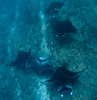 Manta rays in the Maldives