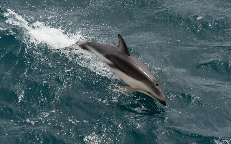 Common and Dusky dolphins play along our ship near New Zealand