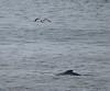 Humpback whale near Montauk, New York