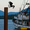Bald Eagles in Ketchikan Port, Alaska