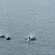 Killer whales in Jonestone Strait