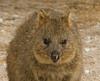 Quokka on Rottnest Island, Australia