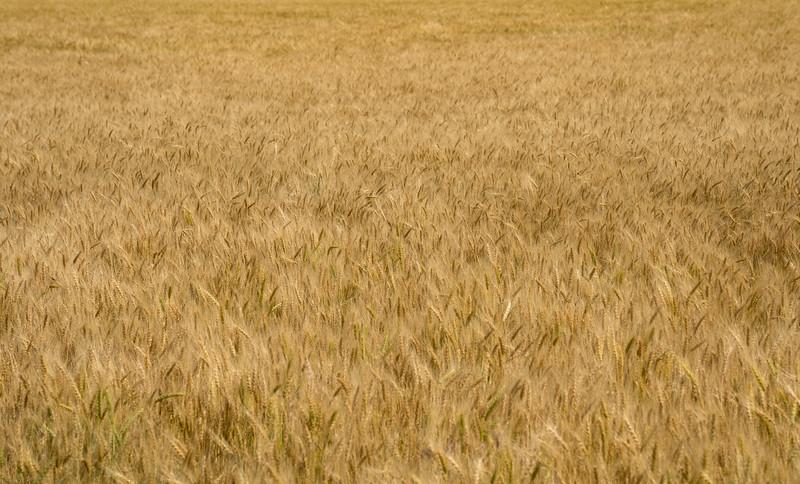 Wheat field in Colorado
