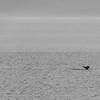 A Humpback whale dives near Tracy Arm, Alaska