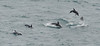 Common and Dusky dolphins play along our ship near New Zealand