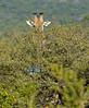 Giraffe near Victoria Falls, Zimbabwe