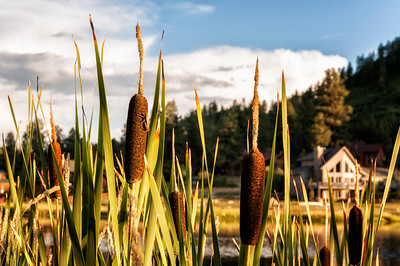Cattails line all the lakes and waterways.  Summer velvet and fall fluff.