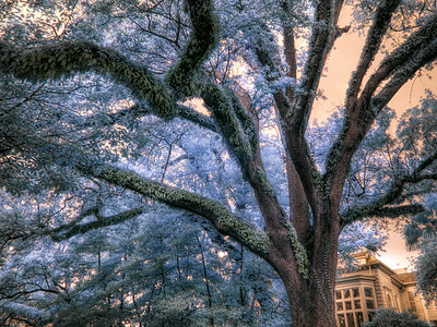 New Orleans Furry Tree IR