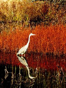 great blue heron, SLHS Pond, oct 23, 2012 DSCN1738