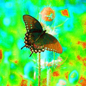 SPICEBUSH SWALLOWTAIL(924AM), huntingdon, pa, july 21, 2005H