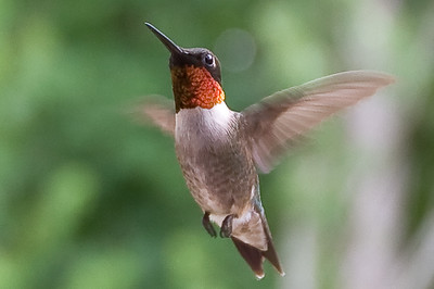 Ruby Red Throat - male Hummingbird