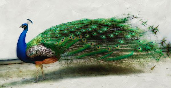 "WPP1151  ""Royal Peacock"""