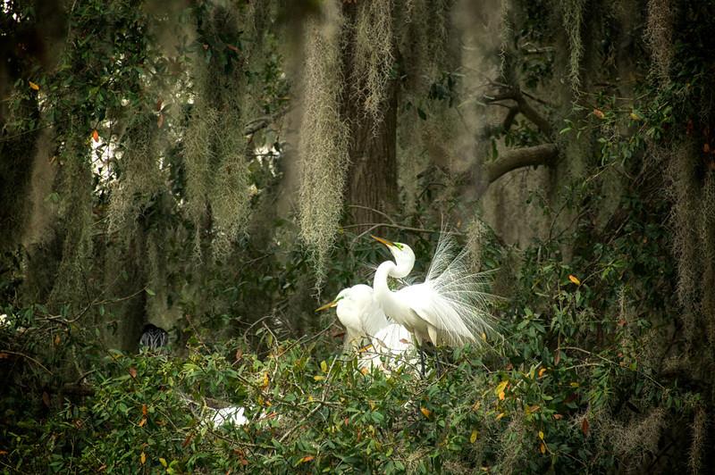 """WPP2105  """"Nesting Egrets"""""""