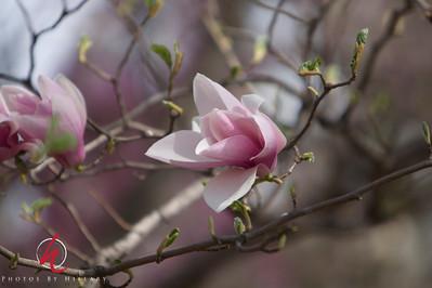 Blossoms in Washington, DC April 2010