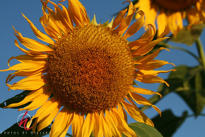 2007_August _11th_SUNFLOWERS 094