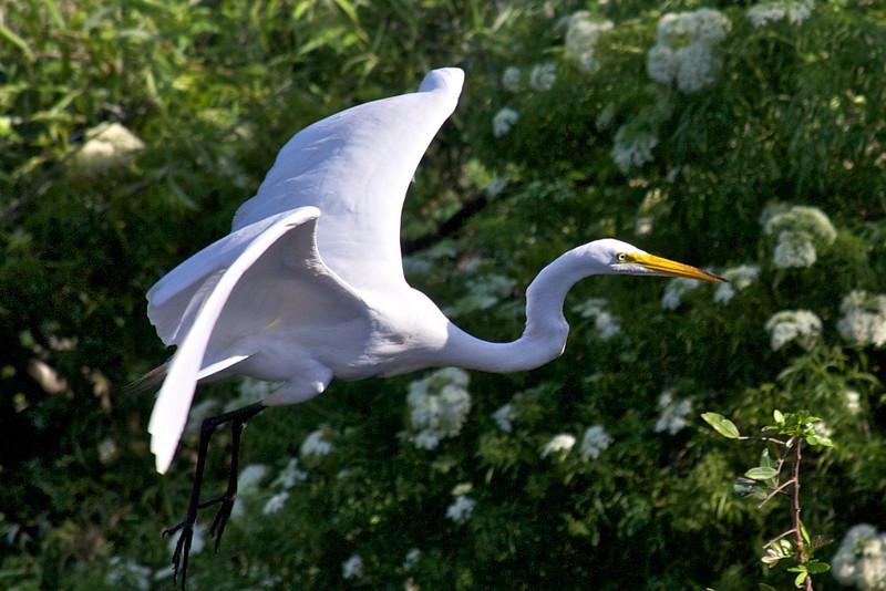 great heron in flight