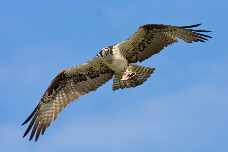 Osprey in flight with fish in talons.