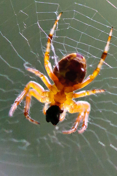Spider-with food bolus from below