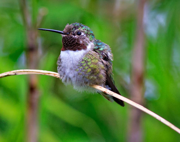 Female Boat-tailed Hummingbird