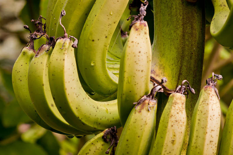 Bananas at Unbelievable Acres