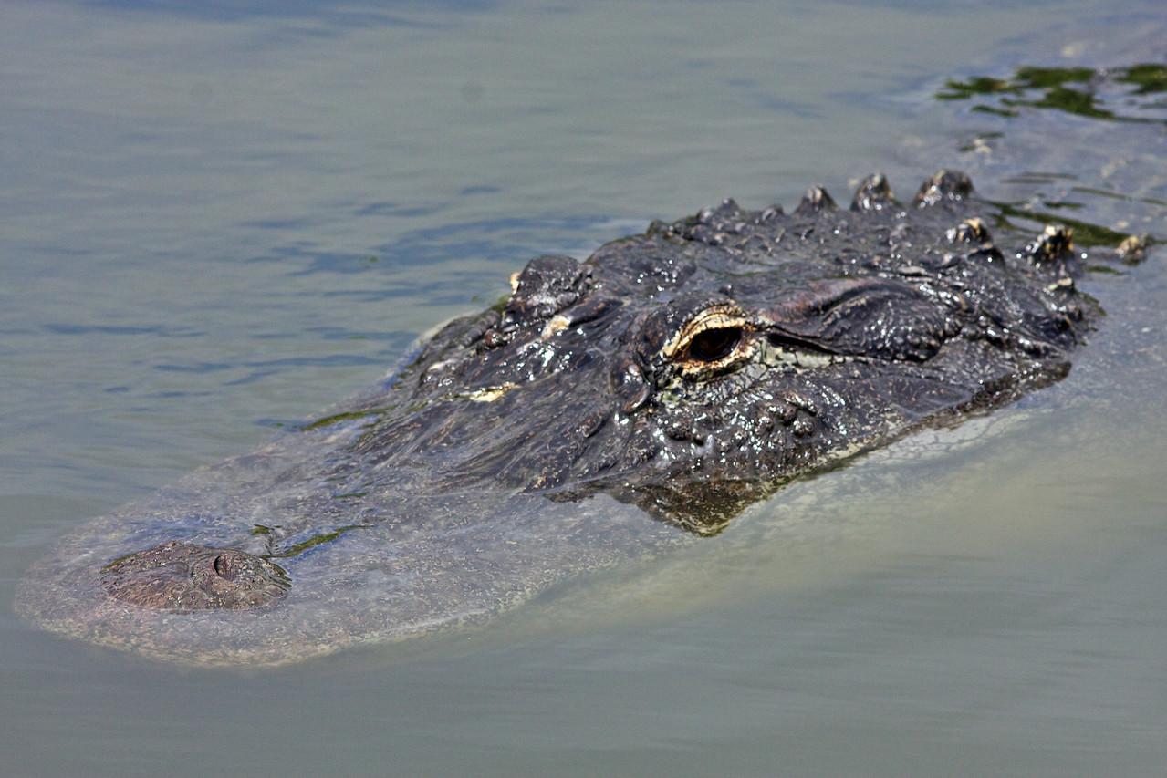 American croc