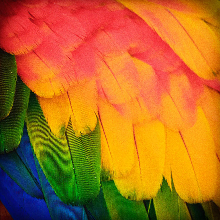 Lorikeet feathers