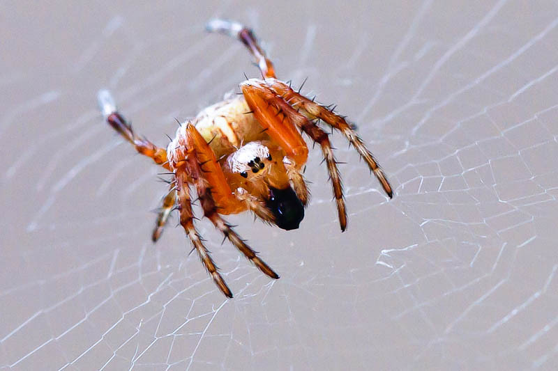 Spider processing food - palps together