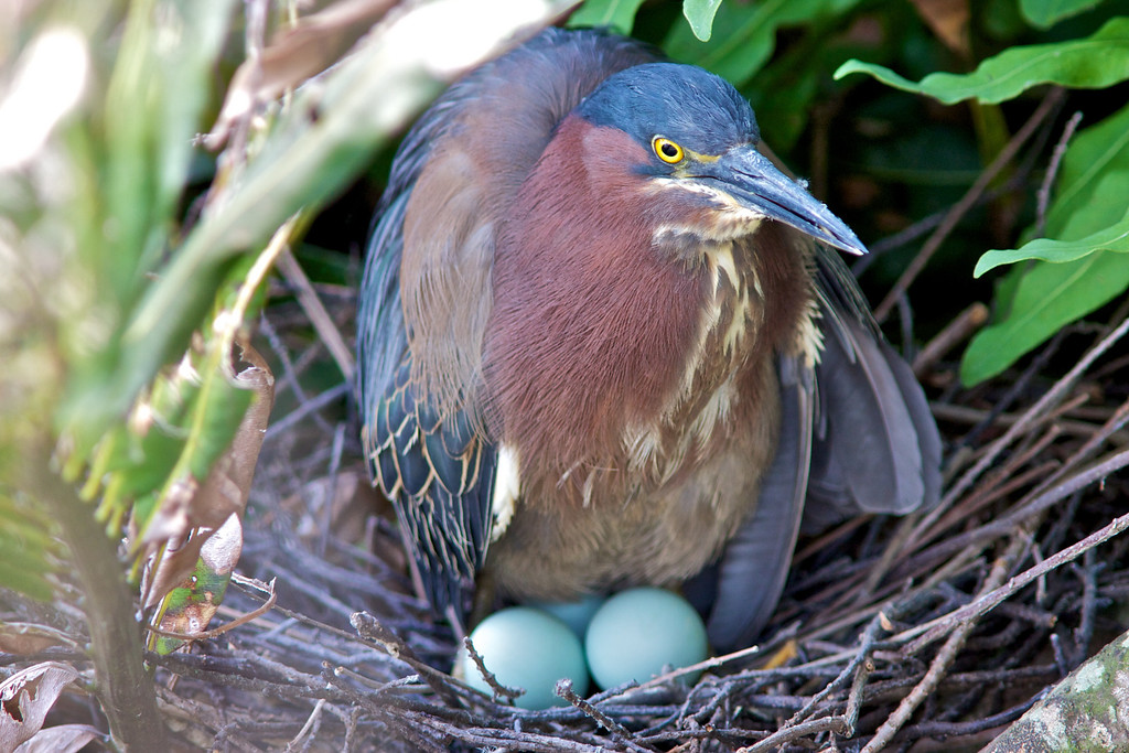 Little Green Heron and three eggs